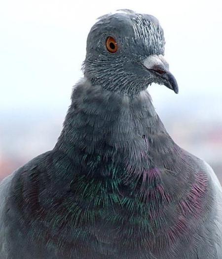 Foto-porumbel-nenaparlit-mare2